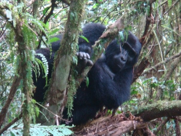 mountain Gorillas in Bwindi