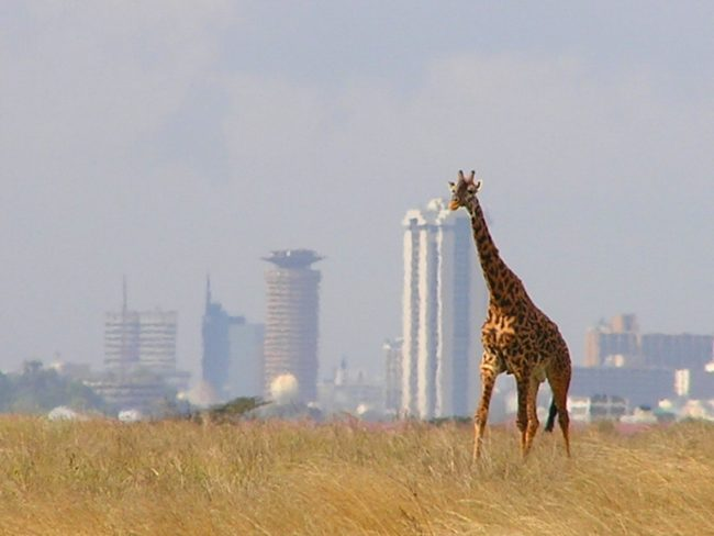 Giraffe in Nairobi National Park