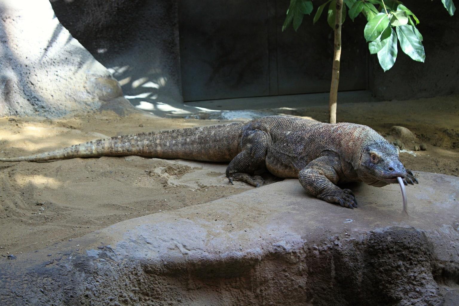 The Komodo Dragon