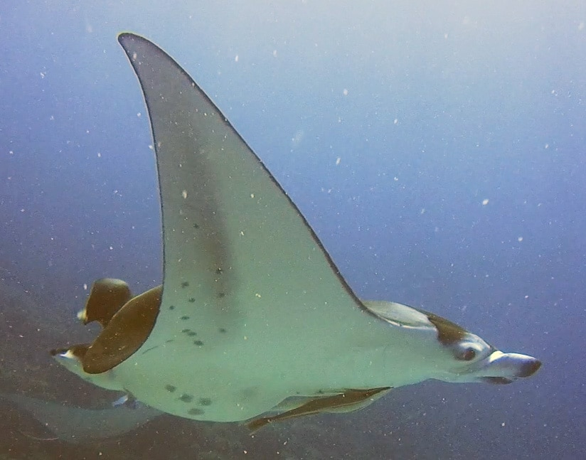 swimming with manta rays is one of the bora bora activities