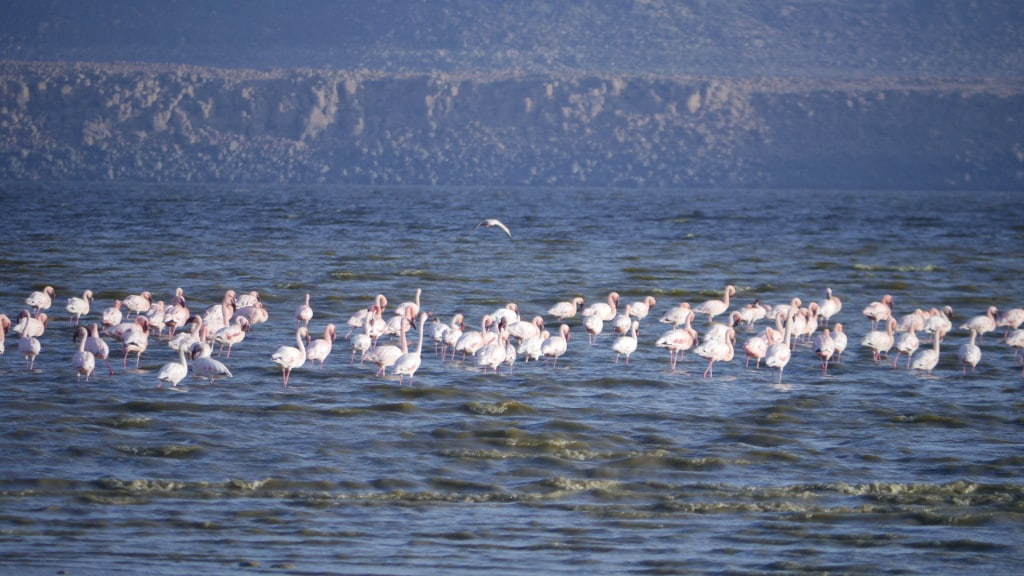 Famingos Lake Abbe