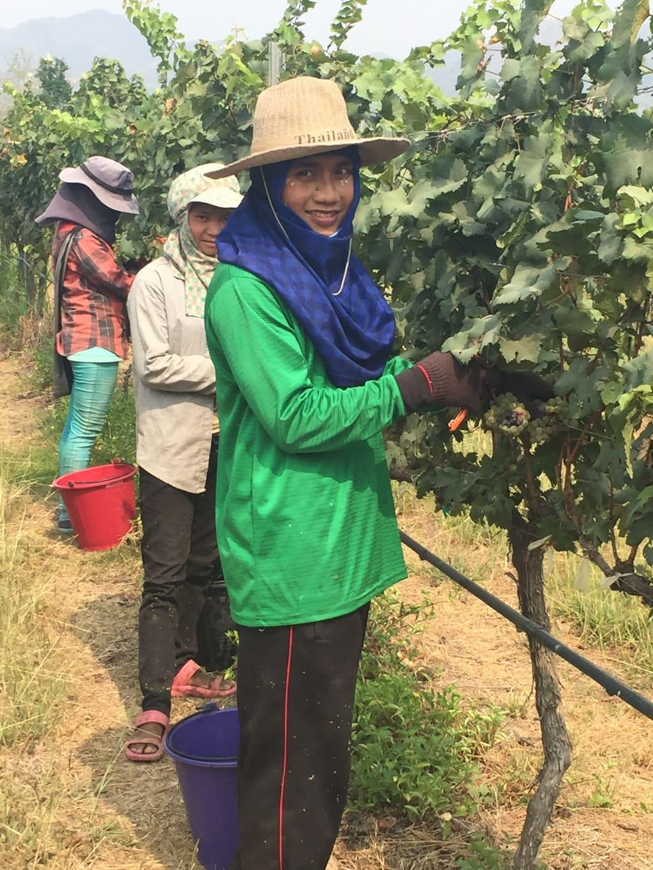The grape picking team in Hua Hin
