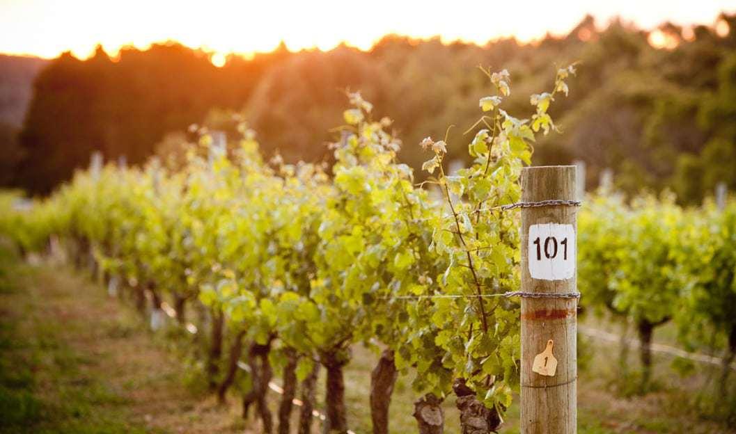 Cape Mentelle vineyards