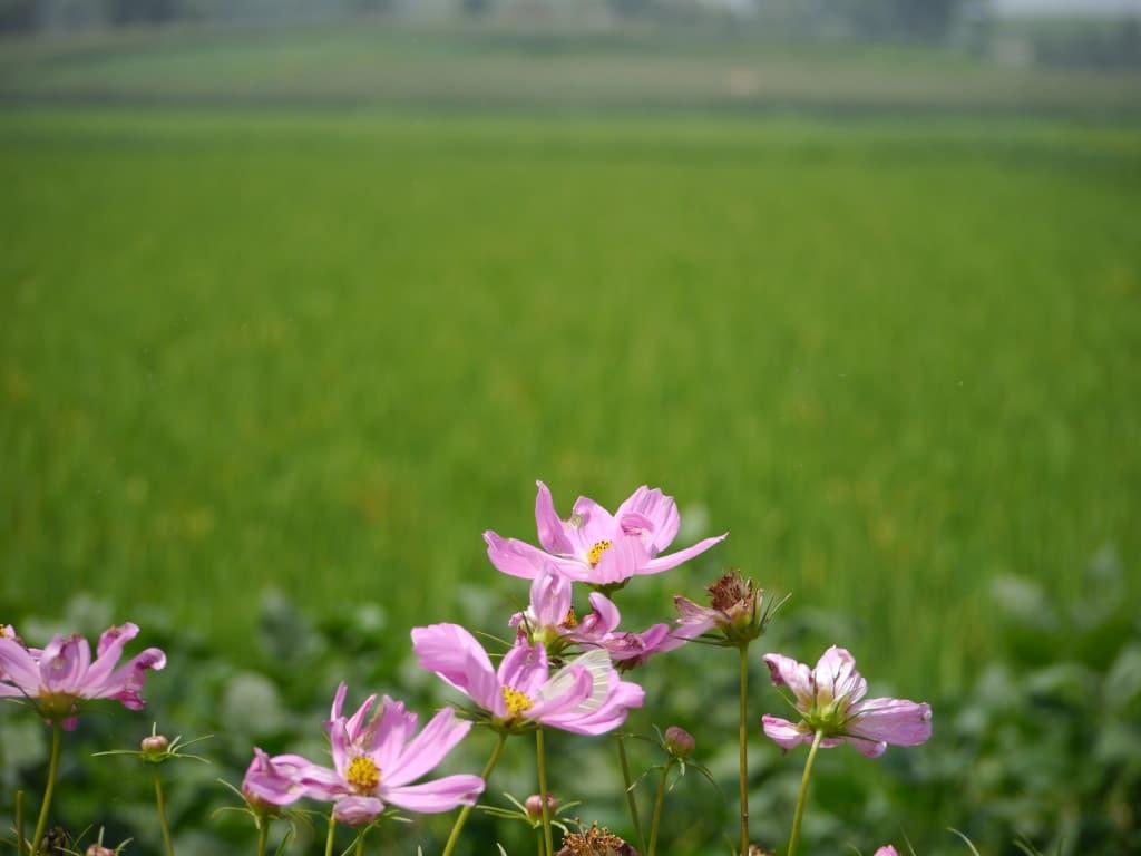 Flowers along rice paddies