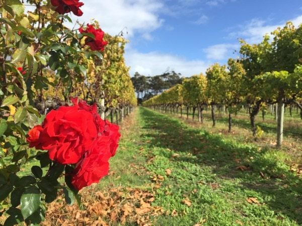 Roses at Voyager Estate vineyards