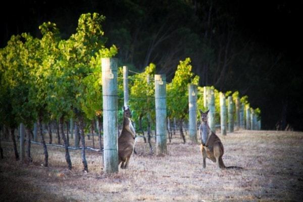 Vineyard kangaroo