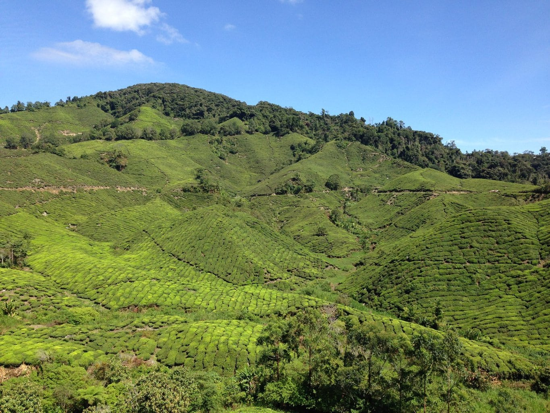 Tea plantations Cameron Highlands