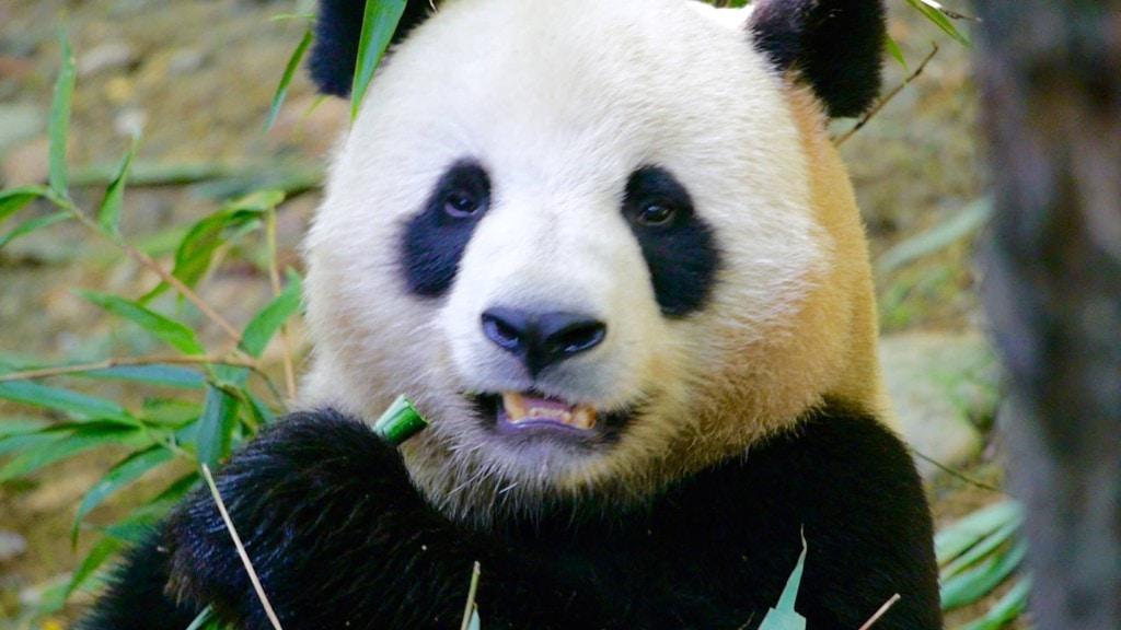 Chengdu pandas