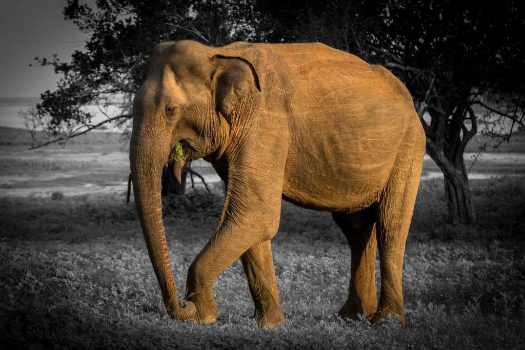 Elephant at Yala National Park in Sri lanka