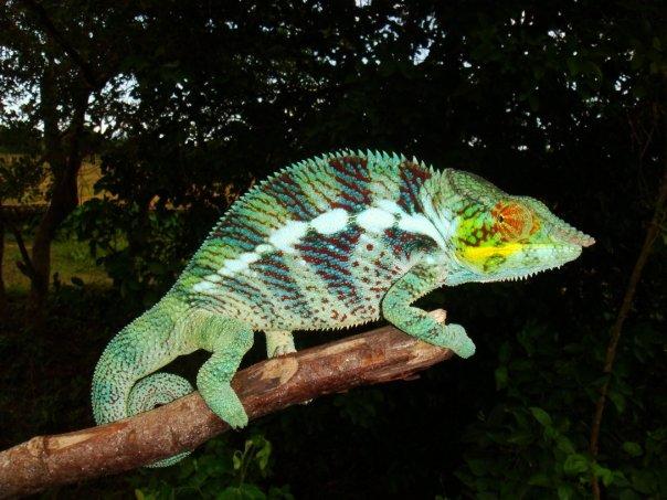 A chameleon in Madagascar