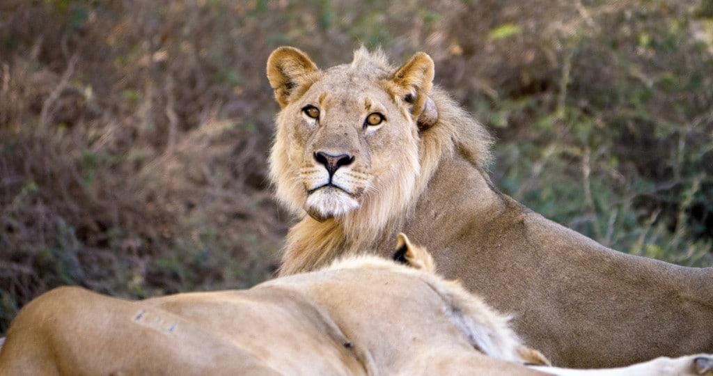 Desert adapted Namibian lion