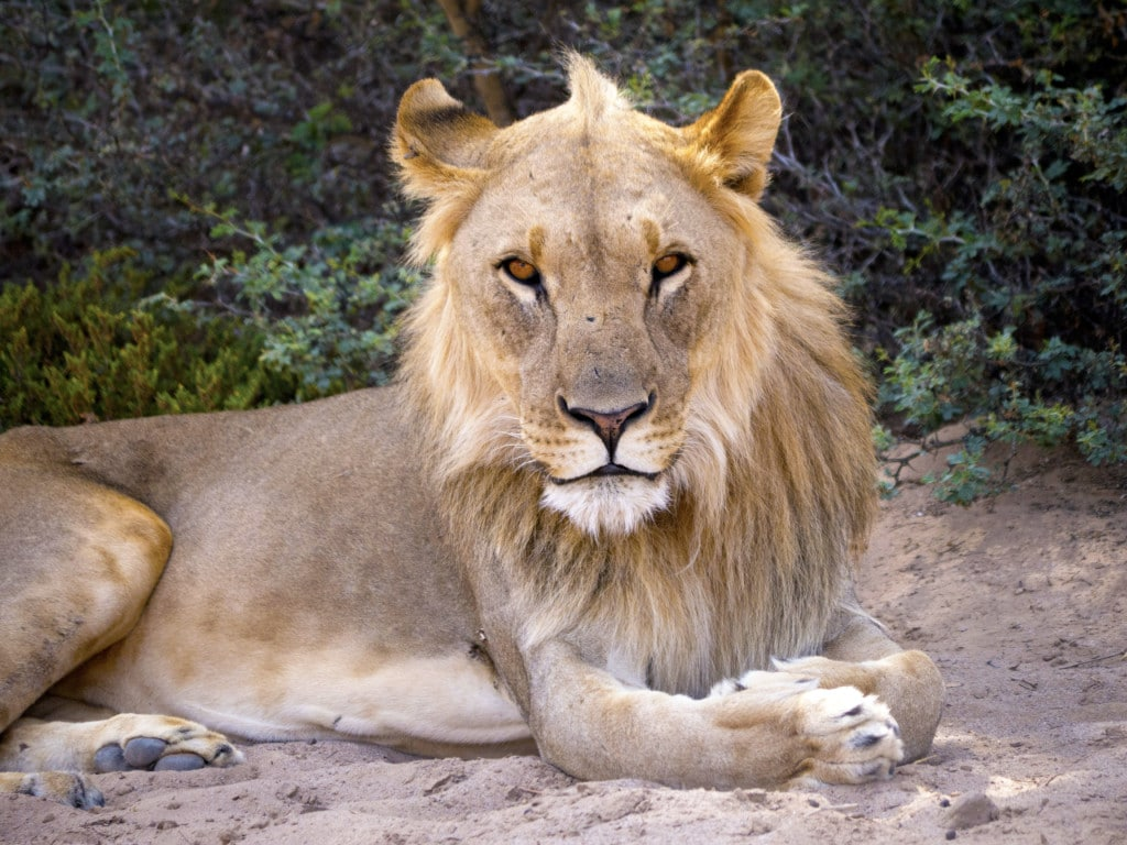 Lion captured with 600mm lens