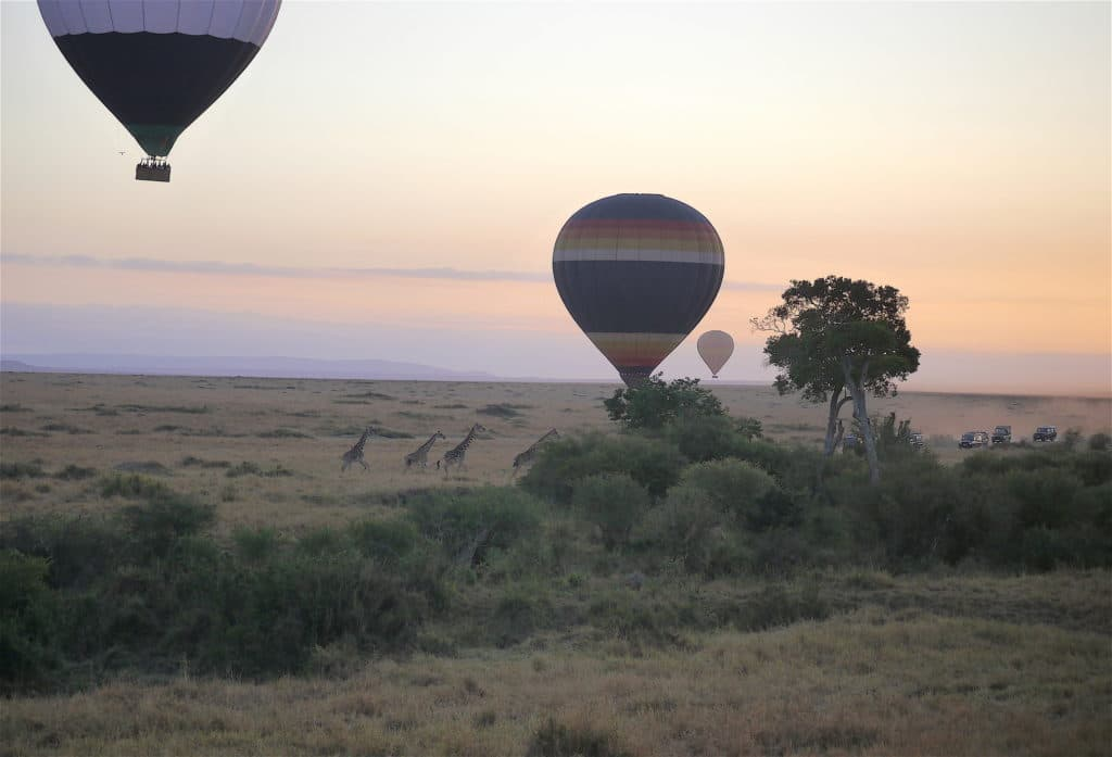 Giraffes running away from hot air balloon at the Maasai Mara