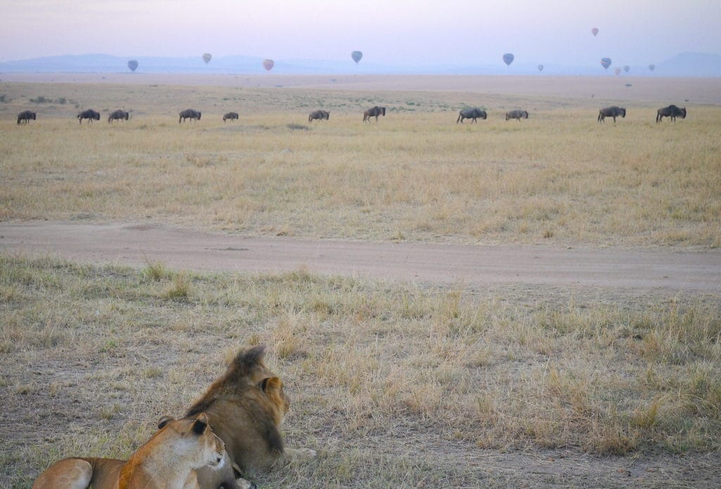 Lions watching the balloons at sunrise