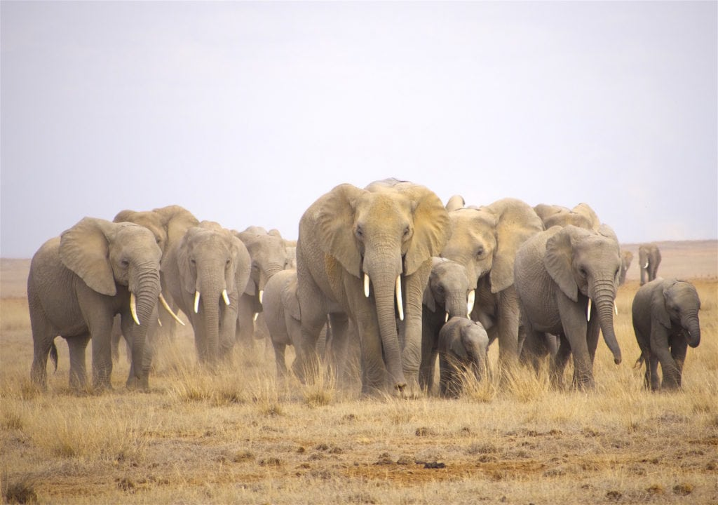 Elephant herd in Amboseli