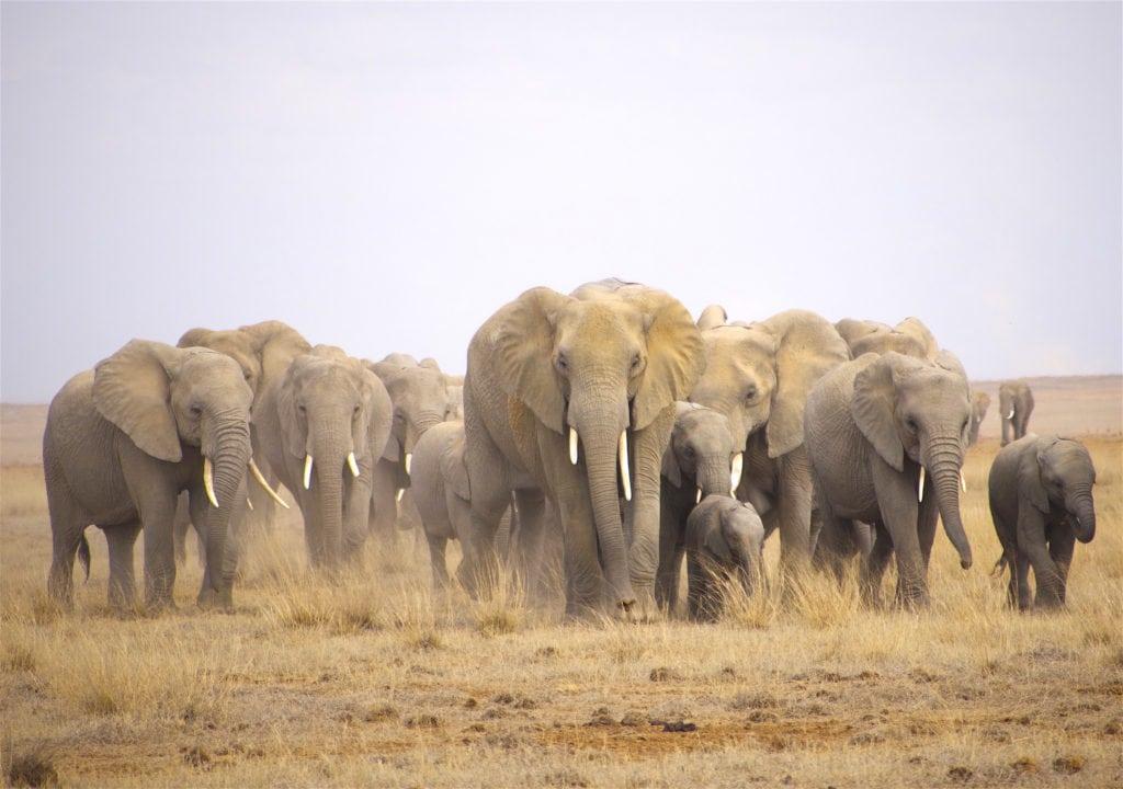 Elephant herd in Amboseli