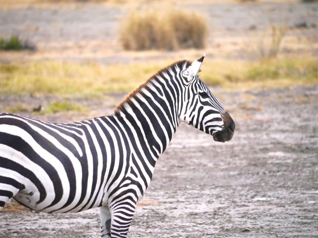 Zebra in Amboseli