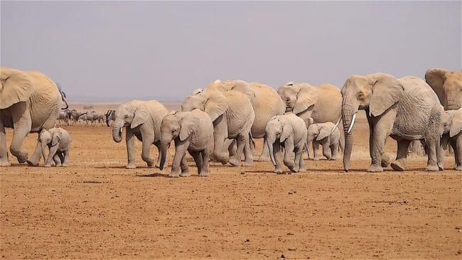 Elephant herd Amboseli