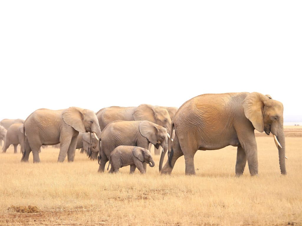 Elephants on Amboseli park