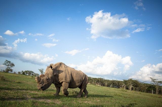 Ol Pejeta white northern rhino