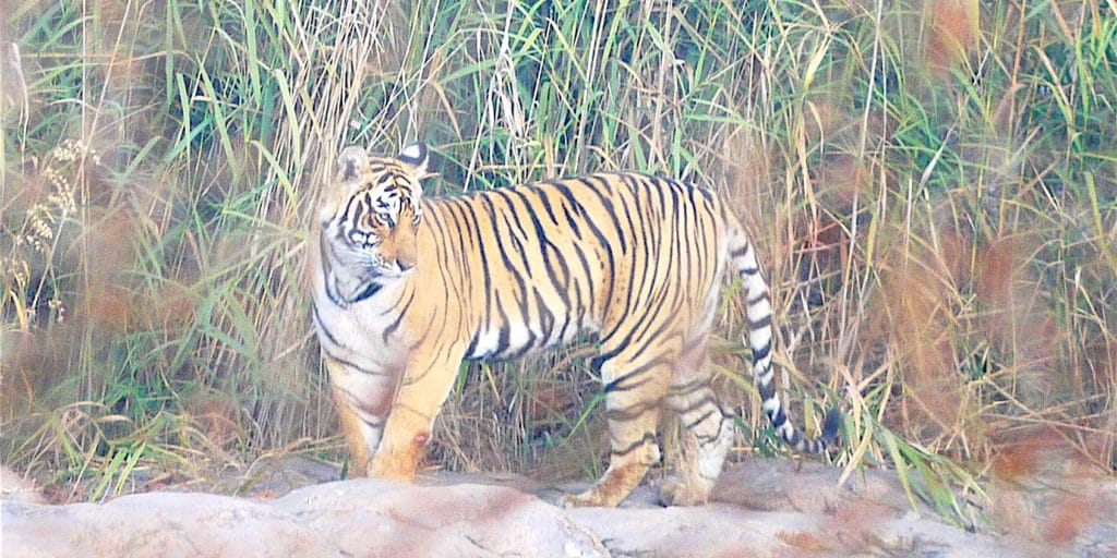 Tiger on safari in Asia in Ranthambore