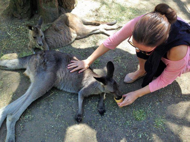 Feeding kangaroos at Featherdale Wildlife Park