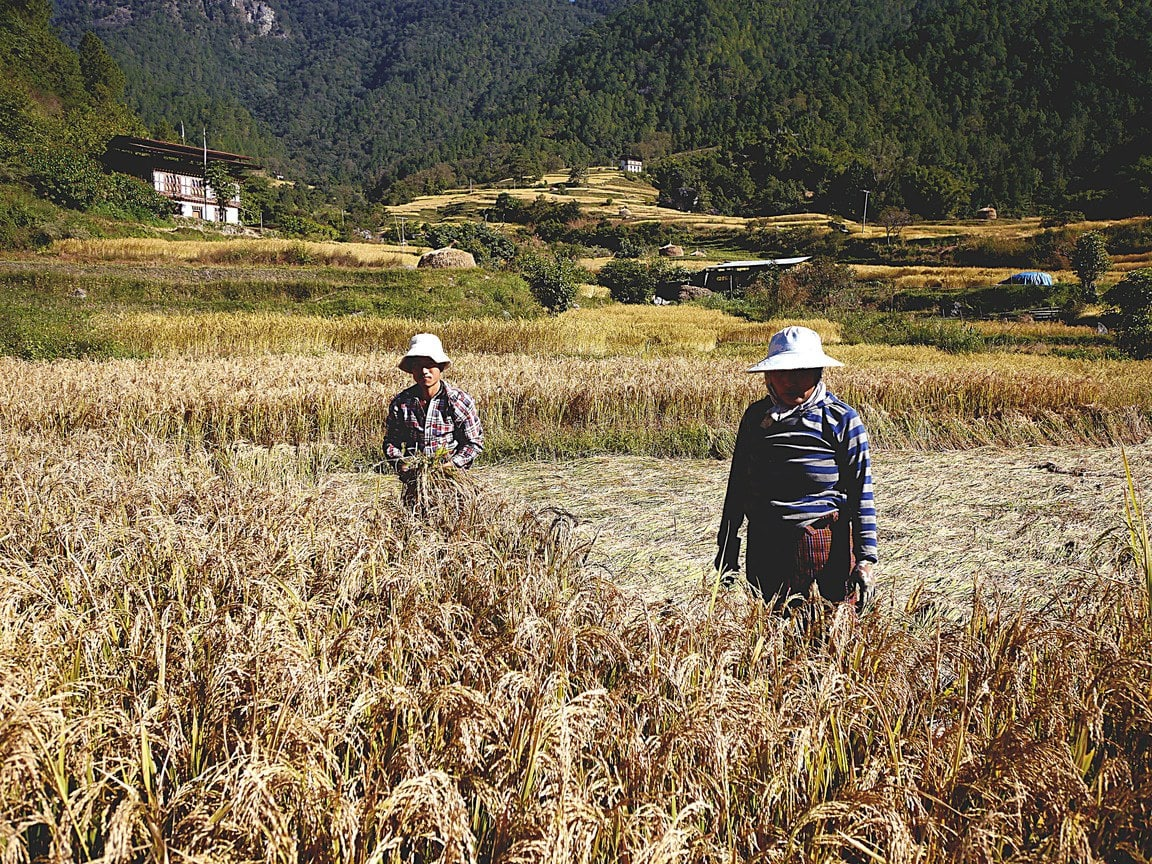 Farmers in rice fields in Punakha
