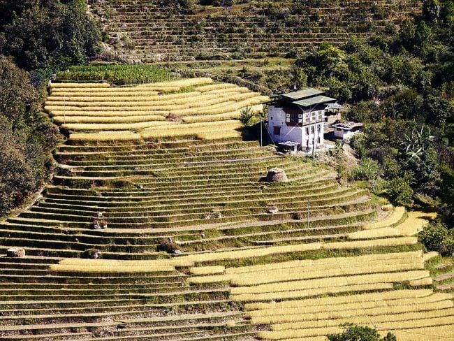Rice fields Punakha