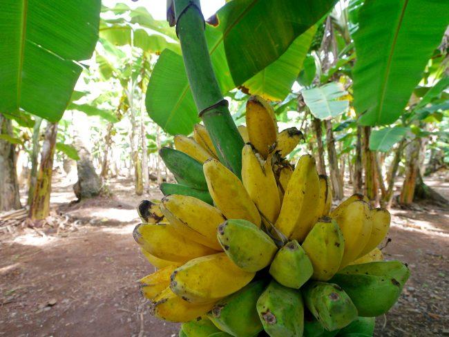 Banana forest Chuuk