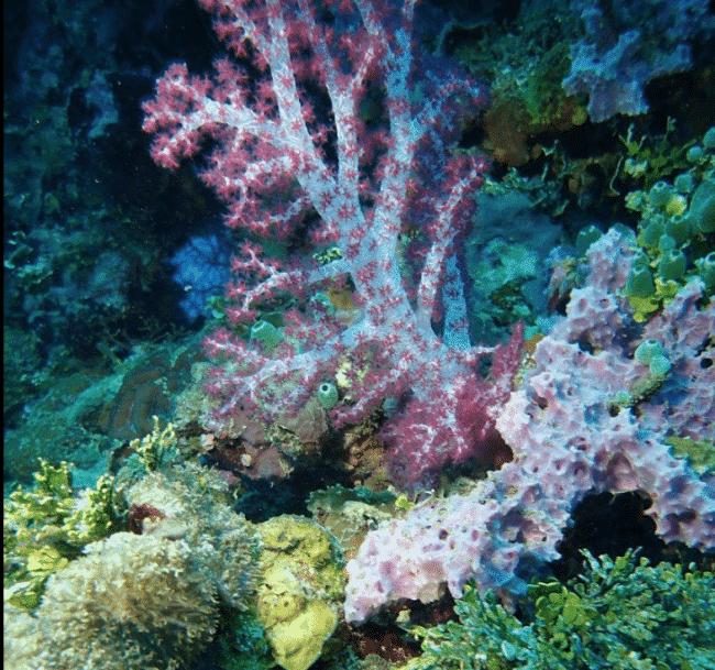 Soft corals in Chuuk Lagoon