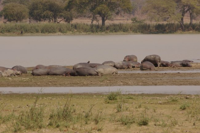 Beached hippos lazing in the sun in Vwaza