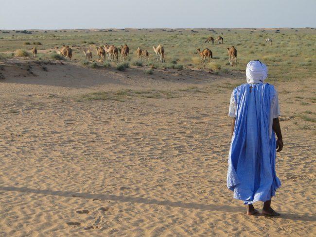 Mauritania camels