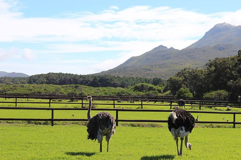 Ostrich Farm in Cape Town
