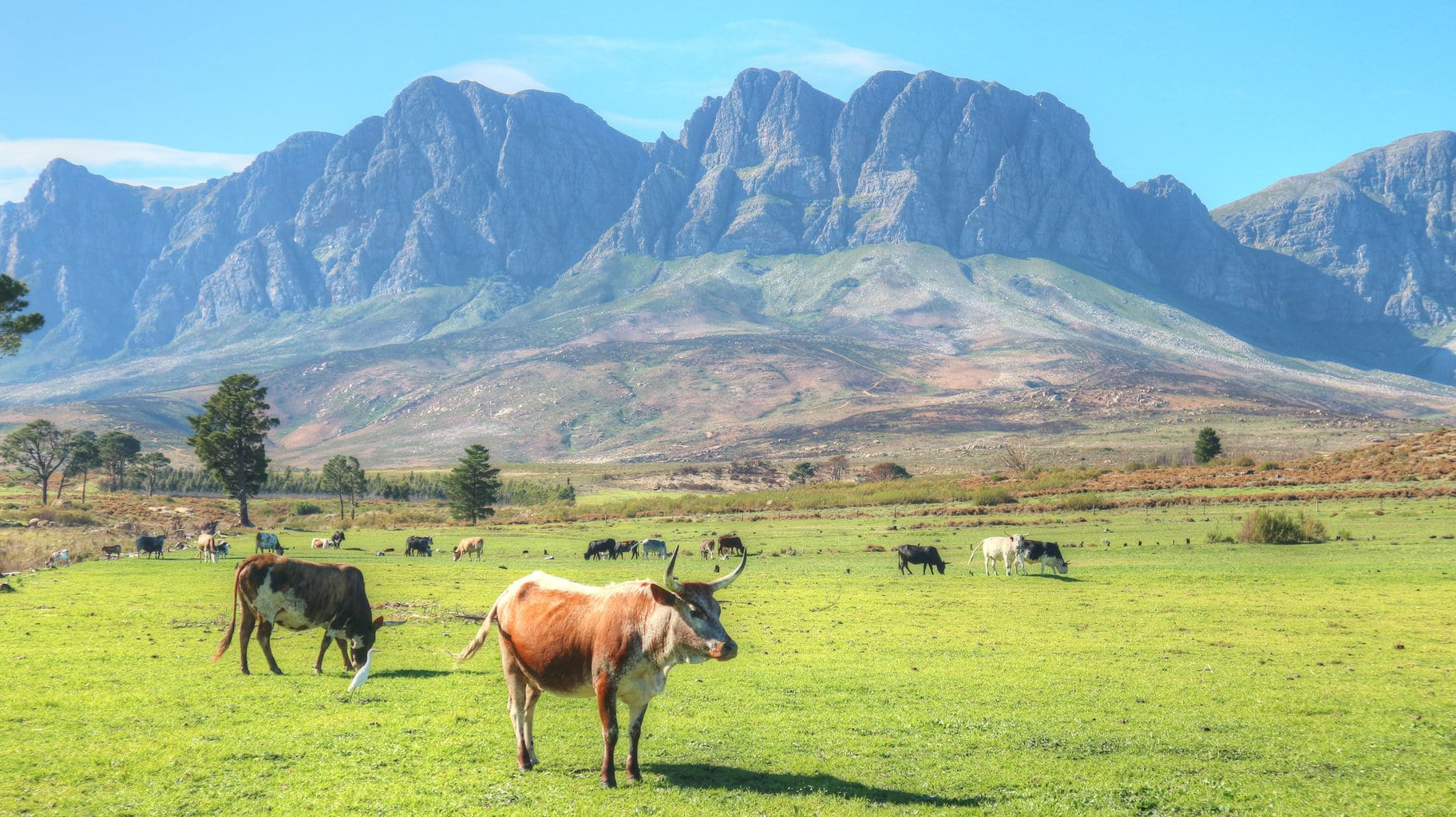 Nguni Cows at Vergelegen