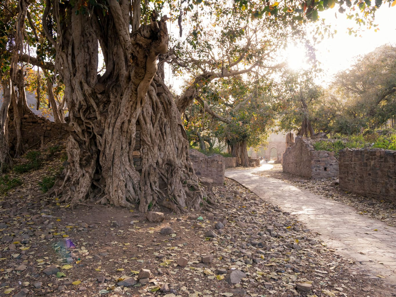Ancient trees at Bhangarh Fort
