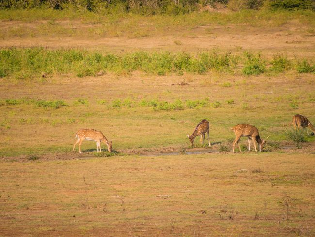 Deer of Yala