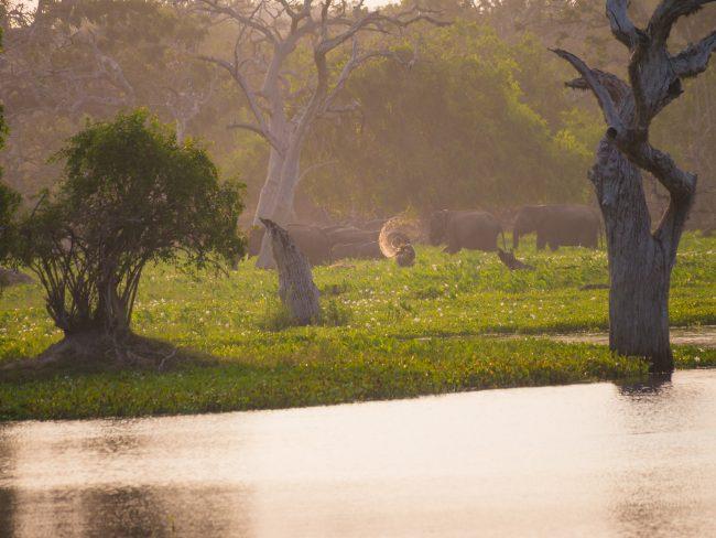 Elephants of Yala