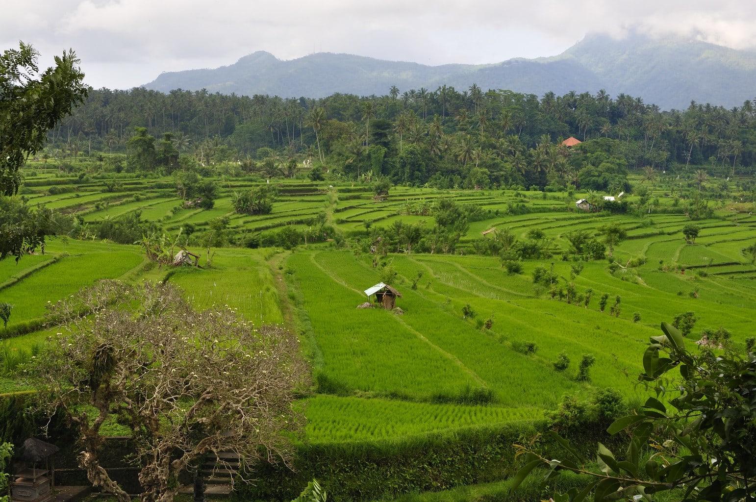 Rice paddies near Tirta Gangga