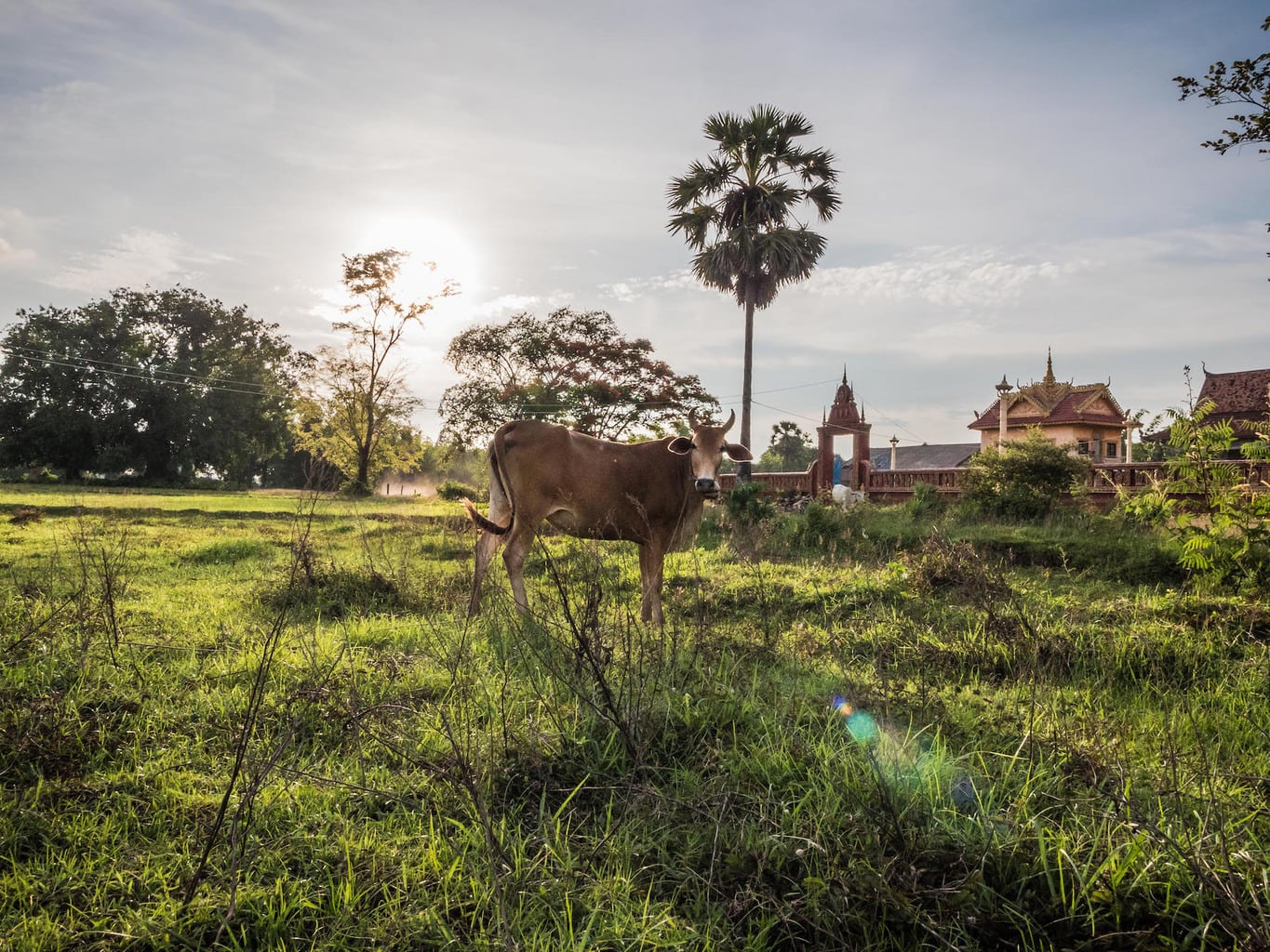 Cow on Koh Trong