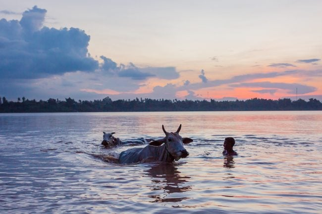 Cow bathing in the Irrawaddy River at sunset