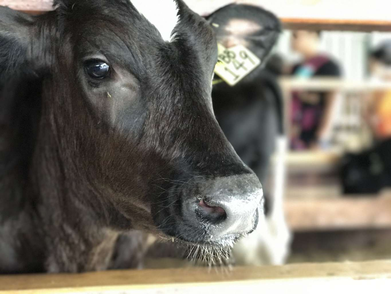 Desa Farm Cow