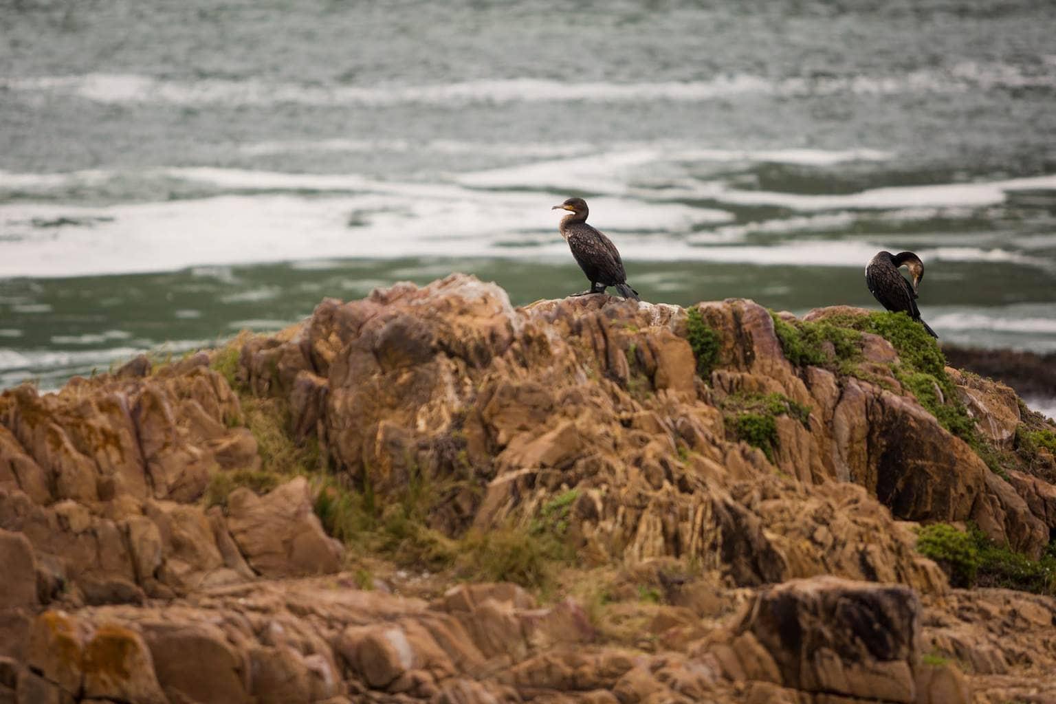 Cormorants drying off in Knysna
