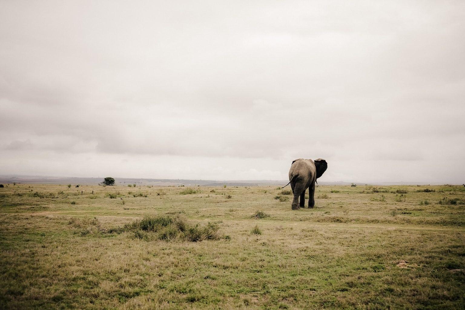 Garden Route Safari elephant