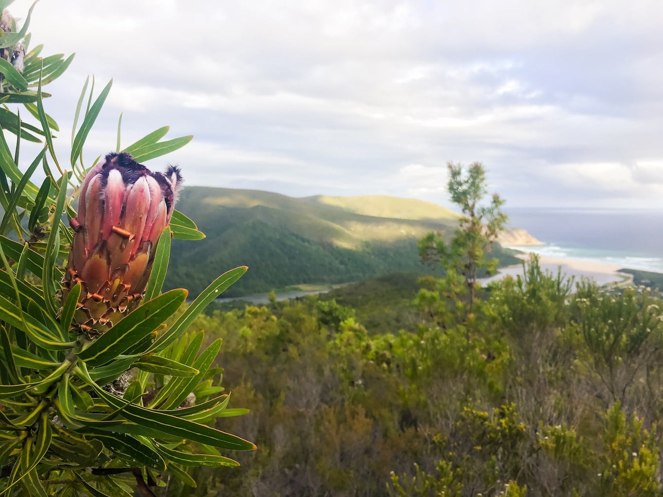 Protea and view from the Kalanderkloof trail