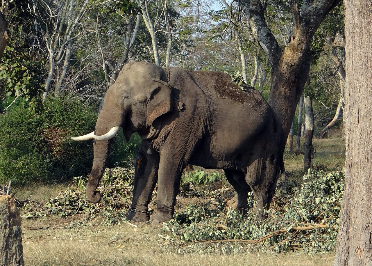 Happy elephant in Karnataka's safari parks