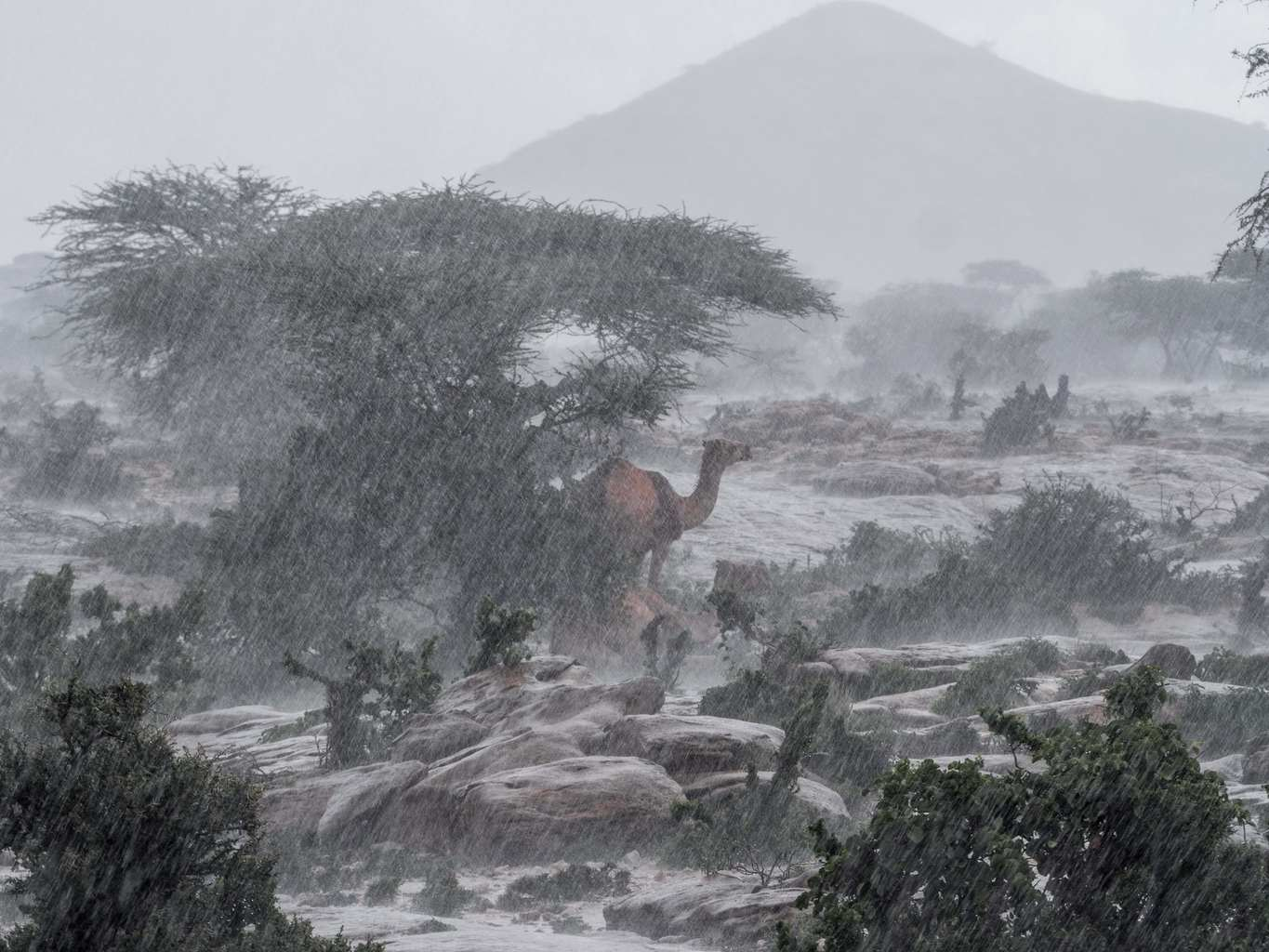 Camel in the Rain
