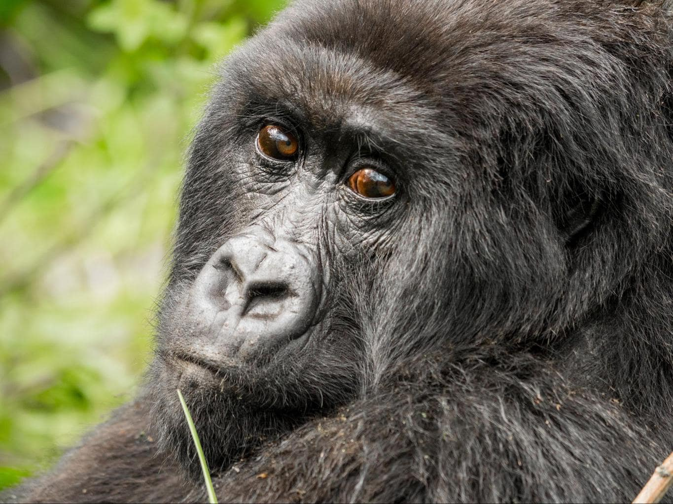 A female gorilla
