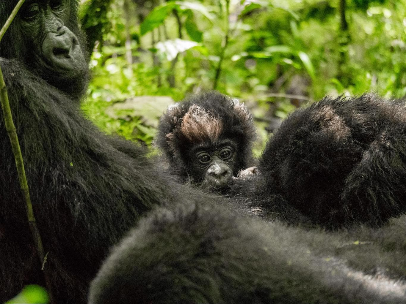 A one month old baby gorilla