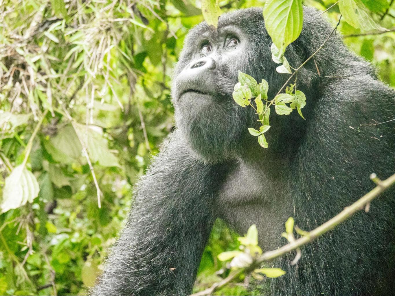 Agashya silverback gorilla