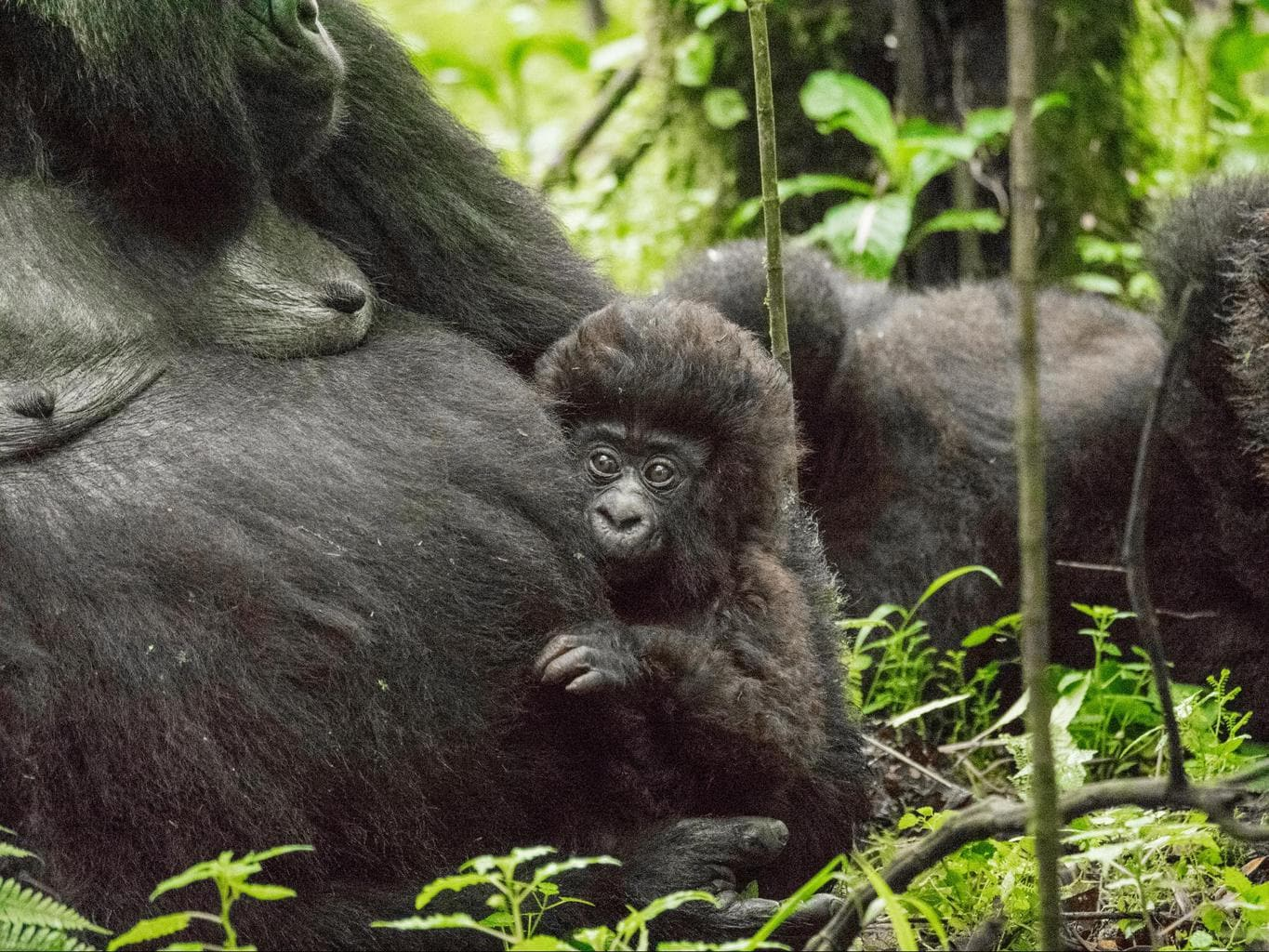 Baby gorilla and her mother